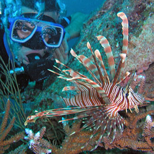 Lionfish in the waters of Fiji