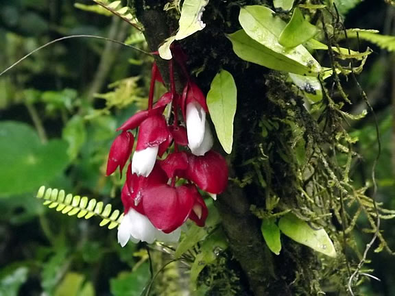 The rare tagimoucia flower, found only on Taveuni